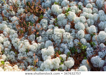 Cladonia stellaris lichen on forest floor Stock photo © tainasohlman