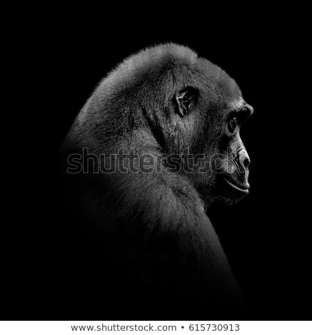 Gorilla portré eszik fű állatkert fekete Stock fotó © bradleyvdw