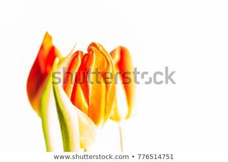Turuncu lâle çiçek bahar bahçe çiçekler Stok fotoğraf © EFischen