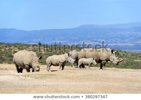 White rhino and calf Stock photo © ottoduplessis