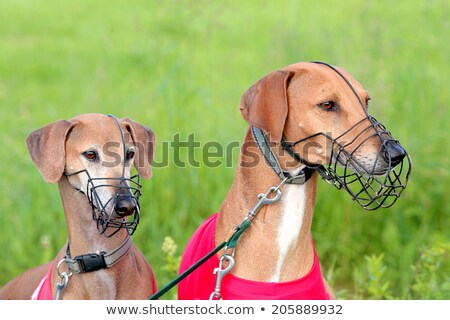 Portrait of two Sighthound Azawakh on a green background Stock photo © CaptureLight