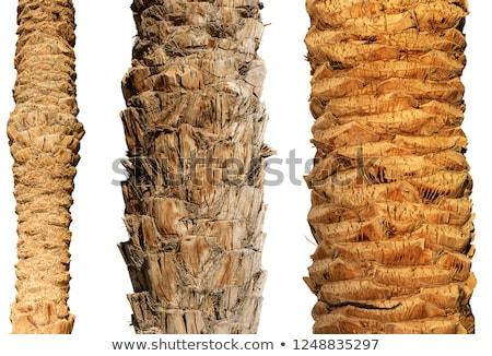 Ugatás pálmafa fa mintázott közelkép kilátás Stock fotó © kyolshin
