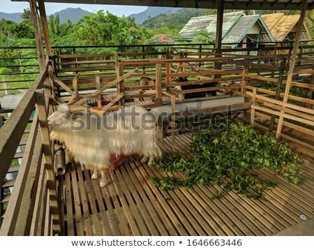 Arapawa Goat Stock photo © rghenry