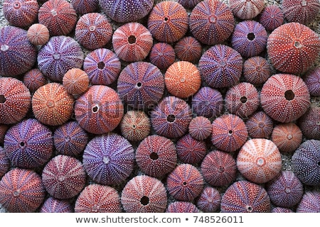 shell of sea urchin or urchin stock photo © yongkiet
