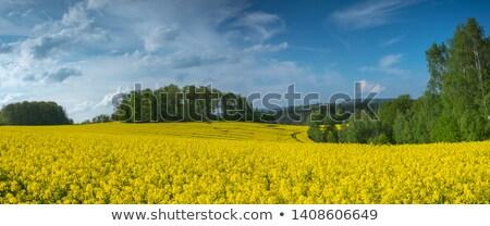 Yellow rapeseed in landscape Stock photo © ivonnewierink