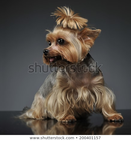 Yorkshire Terrier on the gray graduated background stock photo © vauvau