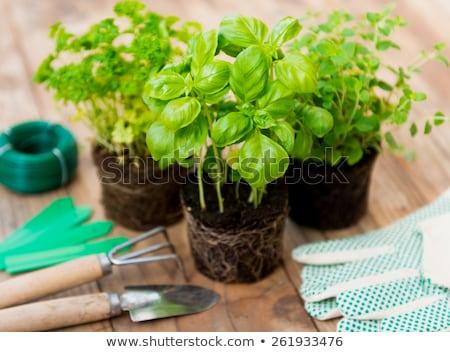 Fresco verde manjericão vegetação exuberante gotas de água pote Foto stock © zhekos