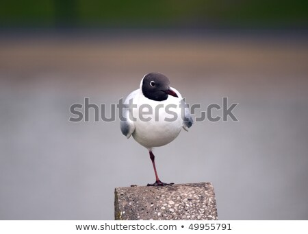 Black-headed Gull Balancing Stock photo © suerob
