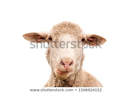 Portré fej állat gyapjú fehér háttér Stock fotó © IS2