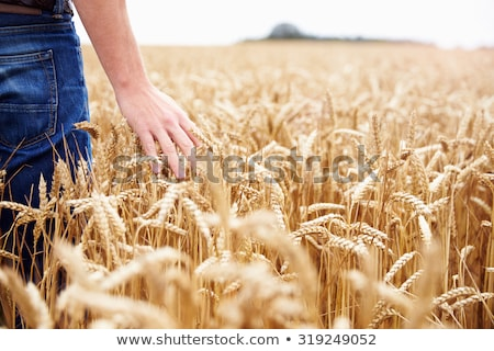 Férfi gazda sétál búzamező megművelt megvizsgál Stock fotó © stevanovicigor