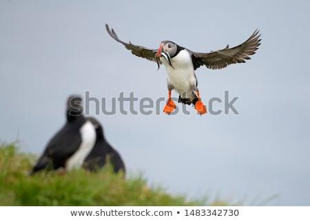 cute bird puffin flying stock photo © lenm