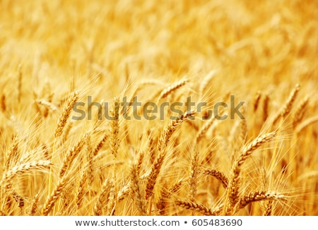 Fields of wheat at the end of summer fully ripe stock photo © FreeProd