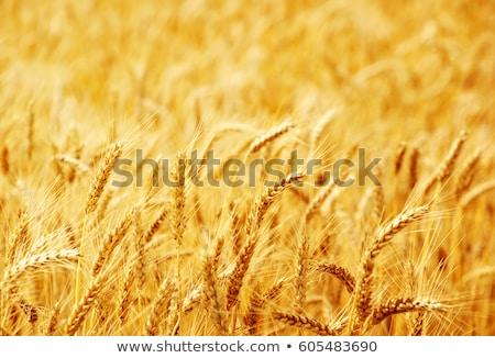 Champs blé été France Photo stock © FreeProd