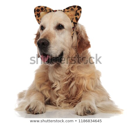 cute labrador dressed as leopard for halloween looks to side Stock photo © feedough