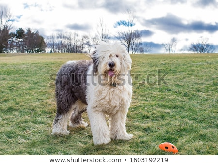 Vieux anglais chien de berger marche pelouse vert Photo stock © raywoo