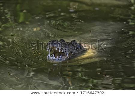 Krokodyle pływać staw tropikalnych zoo oka Zdjęcia stock © galitskaya