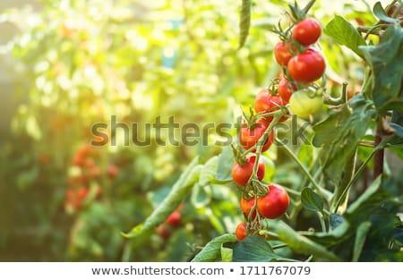 Fresco jardim tomates pepinos ervas cozinhar Foto stock © karandaev