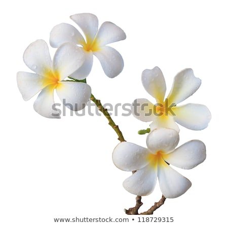 frangipani flower and branch Stock photo © smithore