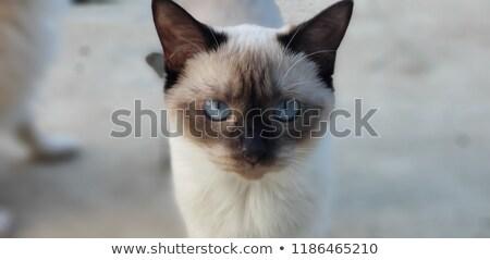 シャム猫 青い目 孤立した 白 顔 背景 ストックフォト © karandaev