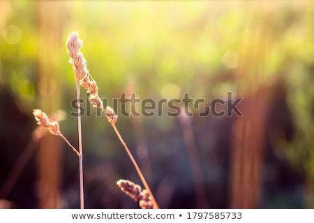 gaz · este · természet · virág · fű · naplemente - stock fotó © sweetcrisis