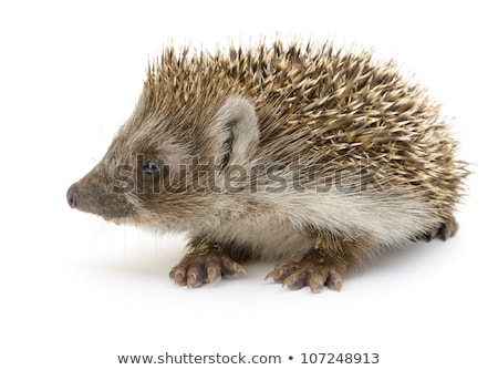 young hedgehog in white back Stock photo © prill