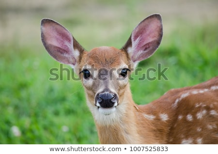 fawn whitetail straight on stock photo © mybaitshop