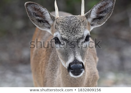 Small Key Deer in woods Florida Keys Stock photo © backyardproductions