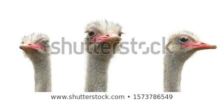 ostrich portrait stock photo © samsem