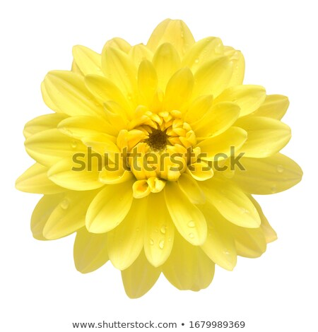 Stock photo: Dahlia yellow flower