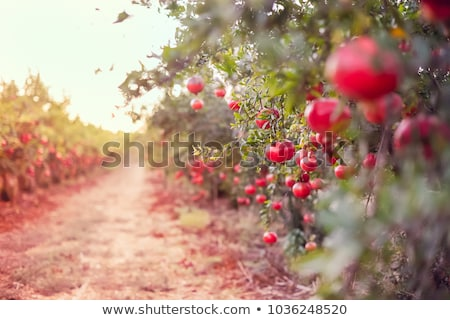 Pomegranate fruit on the green tree Stock photo © Discovod