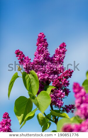 purple lilac bush blooming in may day stock photo © taden