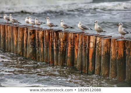 Gaviotas sesión fondo océano azul libertad Foto stock © tarczas