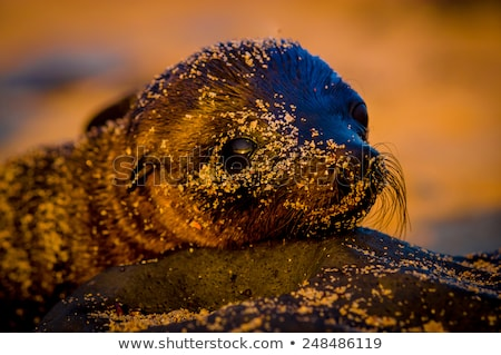 Baby sea lion in the Galapagos Islands resting Stock photo © pxhidalgo