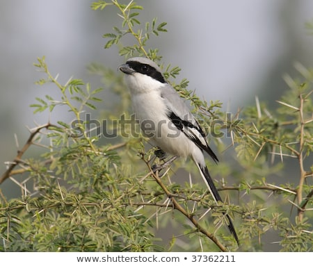 Southern Grey Shrike - Lanius meridionalis Stock photo © chris2766