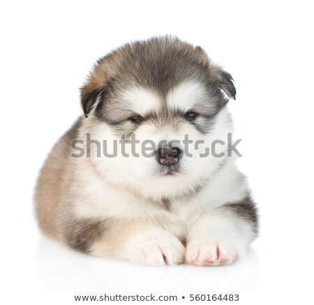 Alaskan Malamute Puppy on White Background in Studio Stock photo © tobkatrina