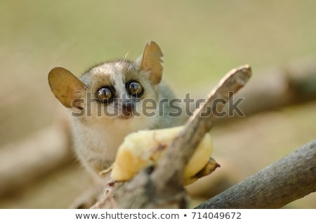 The Rare Lemur Feeding in Trees Stock photo © feverpitch