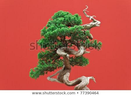 старые · клен · дерево · Японский · саду · красный - Сток-фото © marimorena