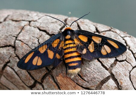 wasp moth or eressa angustipenna stock photo © yongkiet