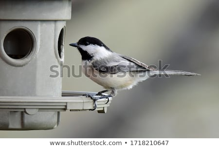 chickadee at feeder Stock photo © pictureguy