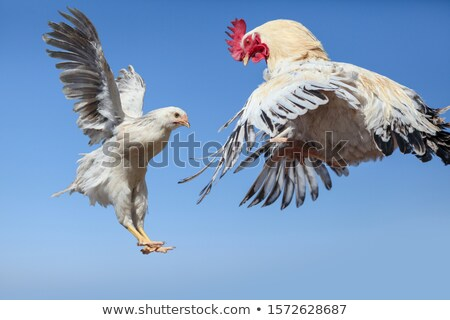 rooster and hen spouses Stock photo © adrenalina