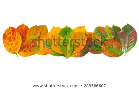 Black chokeberry with leaves  Stock photo © Masha