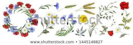 Haşhaş tomurcuk suluboya örnek beyaz çiçek Stok fotoğraf © jara3000