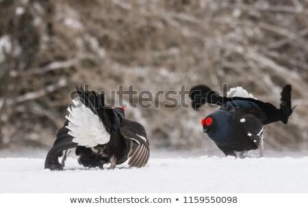 Siyah erkek sezon doğa arka plan kuş Stok fotoğraf © taviphoto