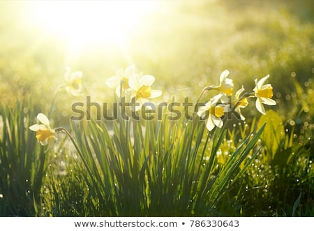 Spring flowers daffodils in the golden sunlight Stock photo © dariazu