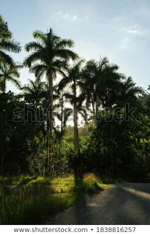 Palmen Cuba horizon palmbomen zonsondergang caribbean Stockfoto © pedrosala