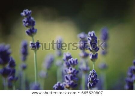 Soft Focus background of wild meadow herbs  Stock photo © Taiga