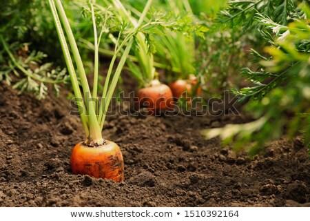 салата · растущий · почвы · весны · природы · зеленый - Сток-фото © nalinratphi