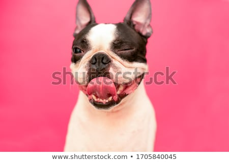 Winking dog Stock photo © Shevs