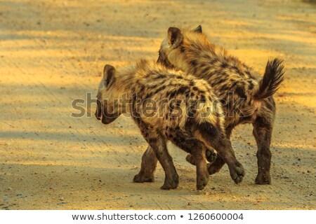 Stock fotó: Fiatal · hiéna · sétál · út · park · Dél-Afrika