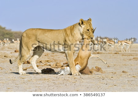 Stockfoto: Buit · South · Africa · gezicht · leeuw · dier · safari